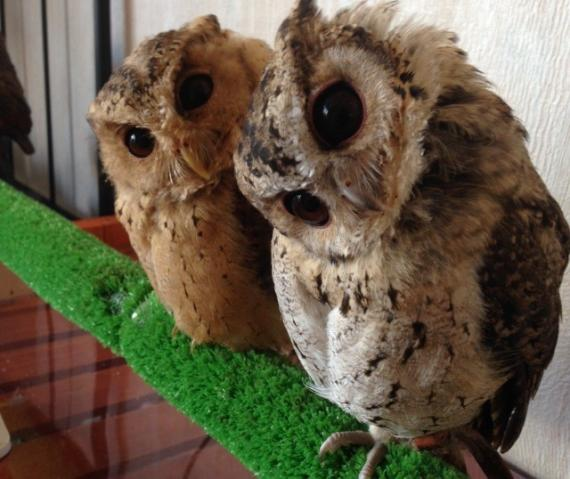 Owl cafe WATA WATA - 1 hour relaxing time with owls - 15 species of owls and cockatiels welcome you. 【with one drink & snacks】